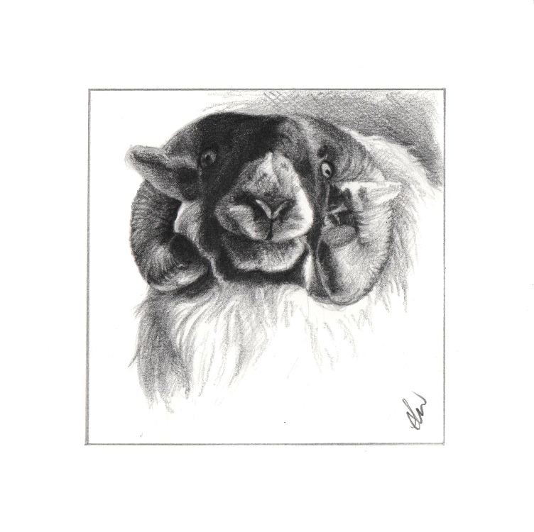 Pencil drawing of a ram
