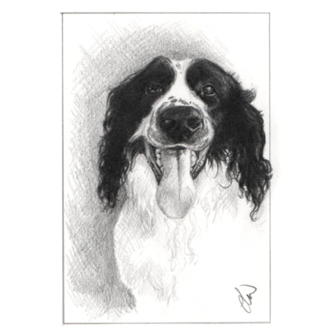 Pencil sketch of a Springer Spaniel
