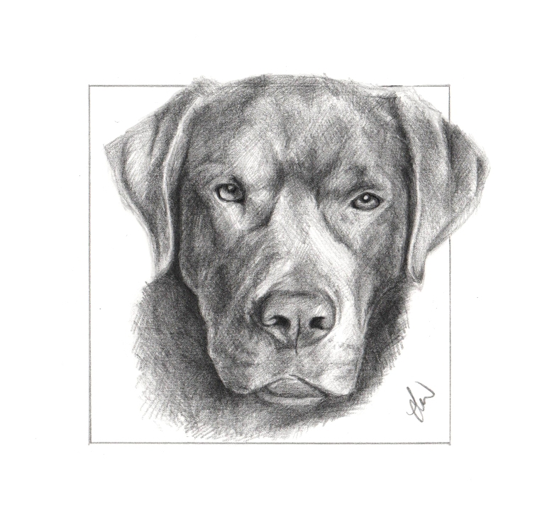 Pencil drawing of a Chocolate Labrador