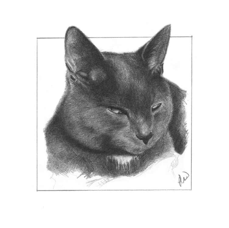 Pencil pet portrait of a Cat