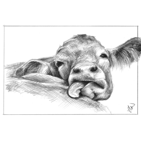 Pencil drawing a cow