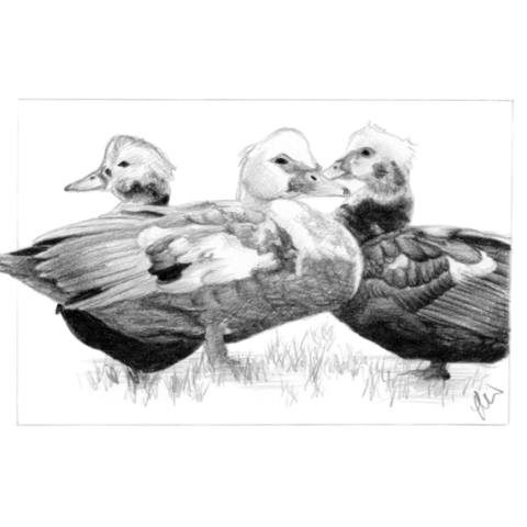 Pencil drawing of Muscovy Ducks
