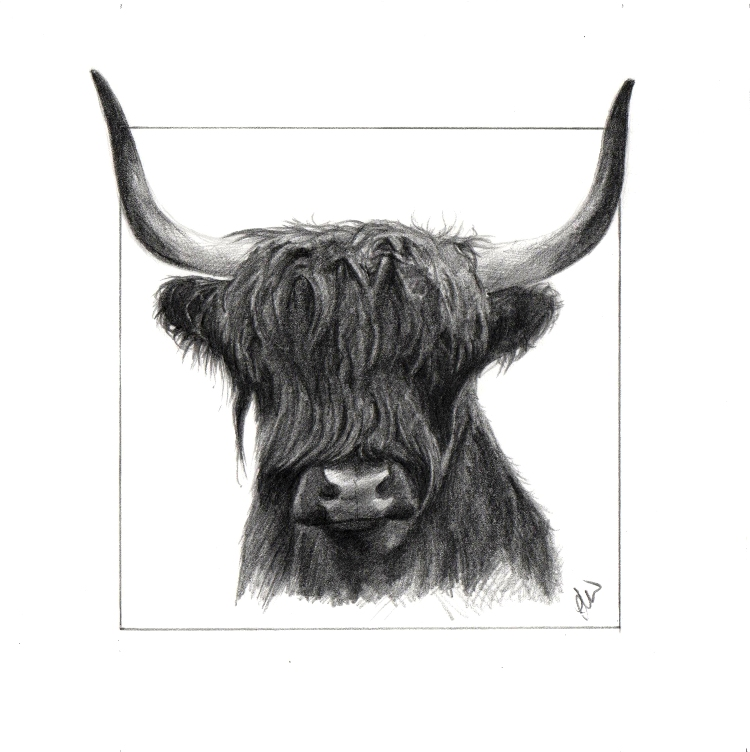 Pencil drawing of a Highland Cow