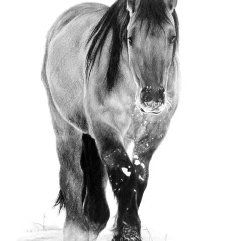 Highland Pony Pencil Drawing.